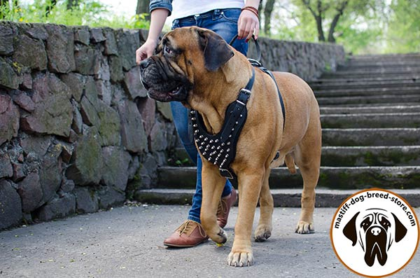 Luxurious leather dog harness for Bullmastiff with shiny spikes