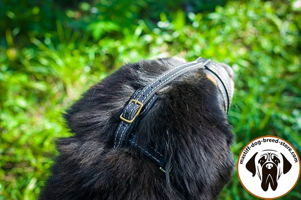 Adjustable leather canine muzzle for Mastiff