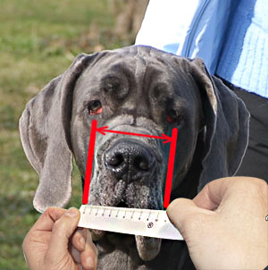 How to measure your dog's snout width