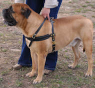 tracking pulling dog harness for bullmastiff