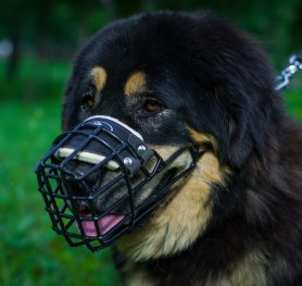 How to Measure Your Mastiff for the Muzzle