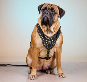 Mastiff - One of the Most Popular Dog Breed